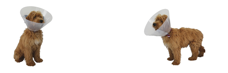 Labradoodle mit einem Halskragen der Firma Rebopharm