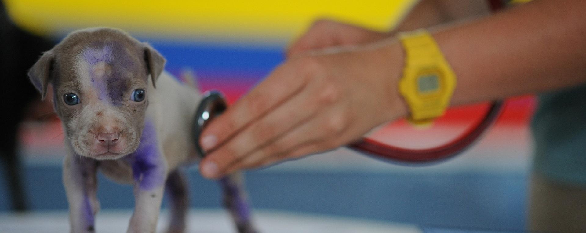 Ein Welpe wird mit einem Stethoskop untersucht
